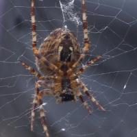 Corn Spider - underneath